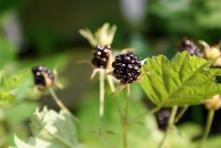 American dewberry