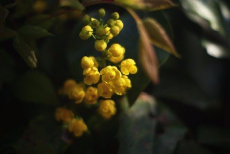 Oregon grape blossom