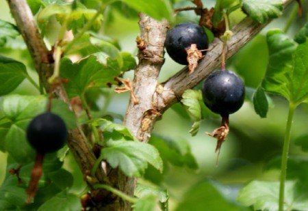 Worcesterberries