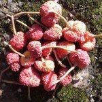 Evergreen dogwood fruit