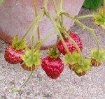 Musk strawberries