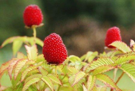 Balloon berries