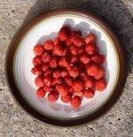 Wild native strawberries