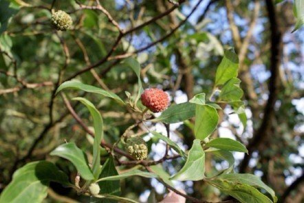 Evergreen dogwood, Cornus capitata