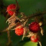 Japanese wineberry (Rubus phoenicolasius)