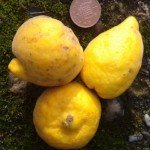 Hardy citrus