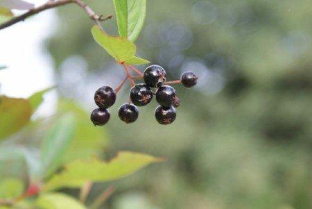 Black chokeberries