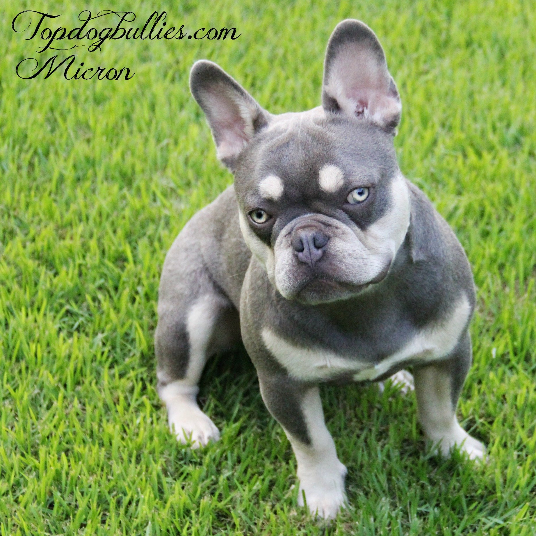 Frenchies For Sale Frenchbulldog Breeders Frenchbulldog
