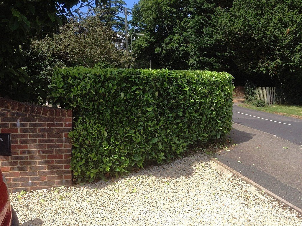 Formal hedge Trimmed at house