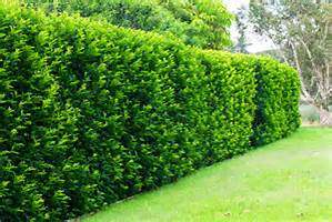 Informal Hedge Trimmed