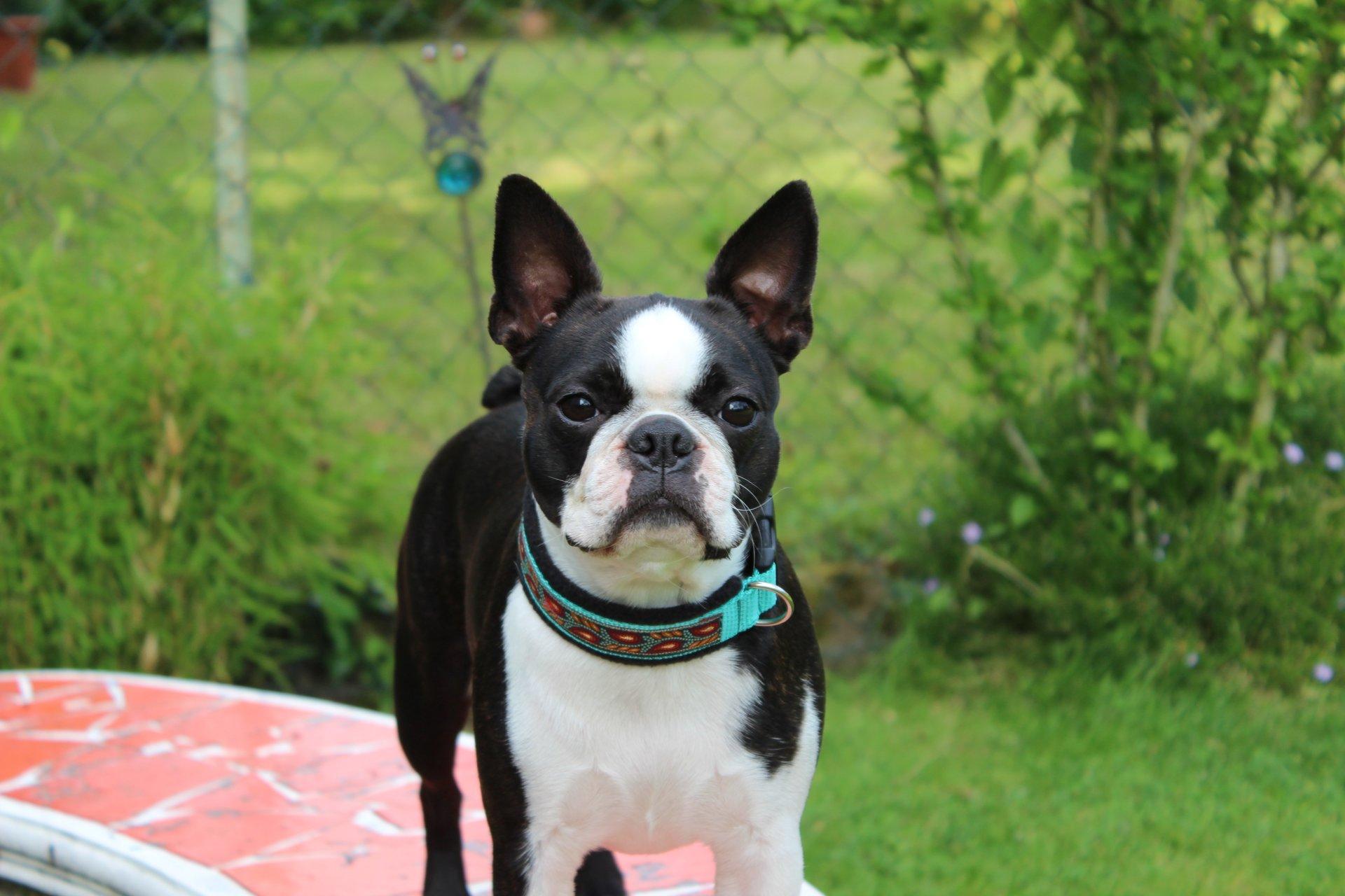 Boston Terrier Liebhaberzucht Im Saarland