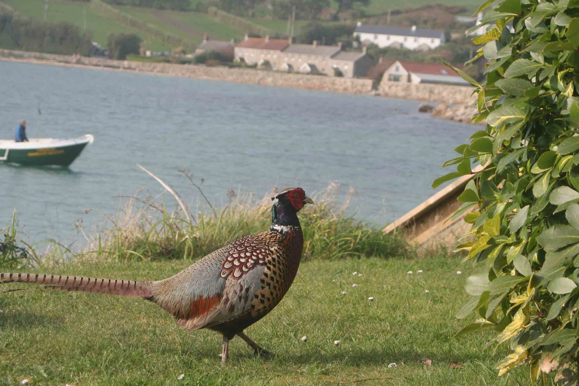 pheasant on Tresco Isles of Scilly L A Kent Sad Pelican DI Treloar series